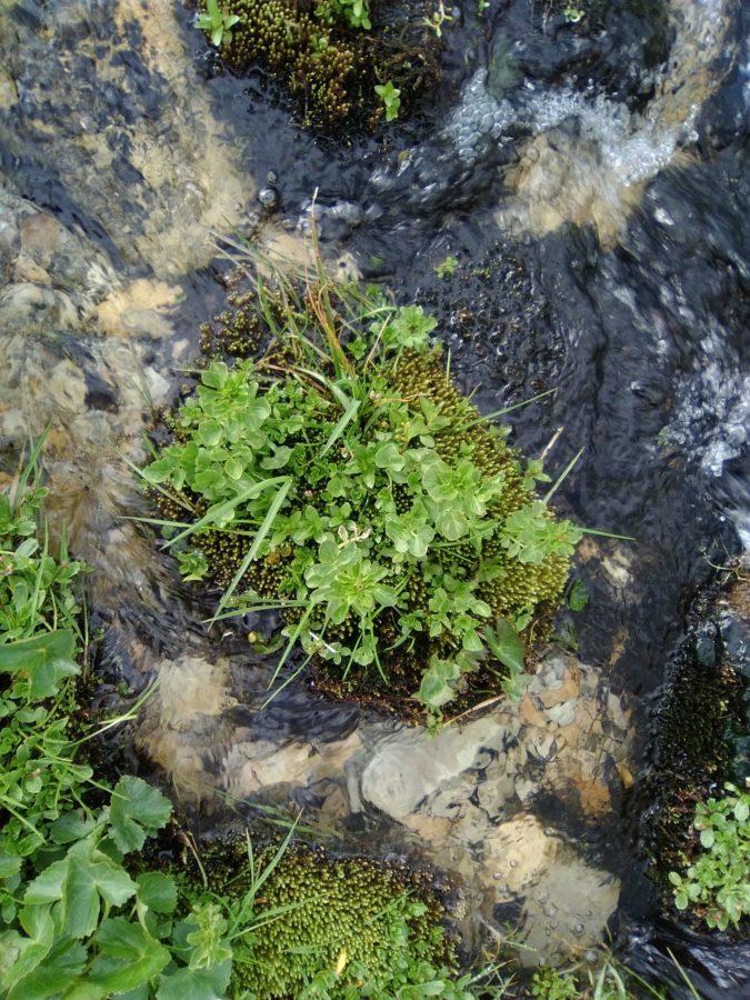 Vorgestellt: Die Brunnenkresse