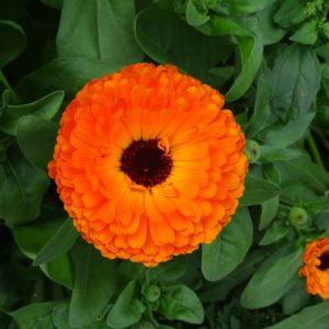 Gesichtspflege mit Ringelblume und Jojobaöl