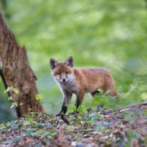 Fuchsbandwurm – Informationen und eure Meinung