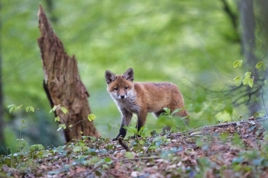 Fuchsbandwurm – was sagt ihr dazu?