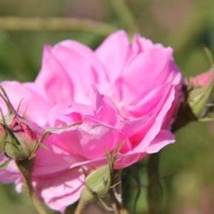 Rosenreise nach Bulgarien 2018 – Der Weg des Herzens