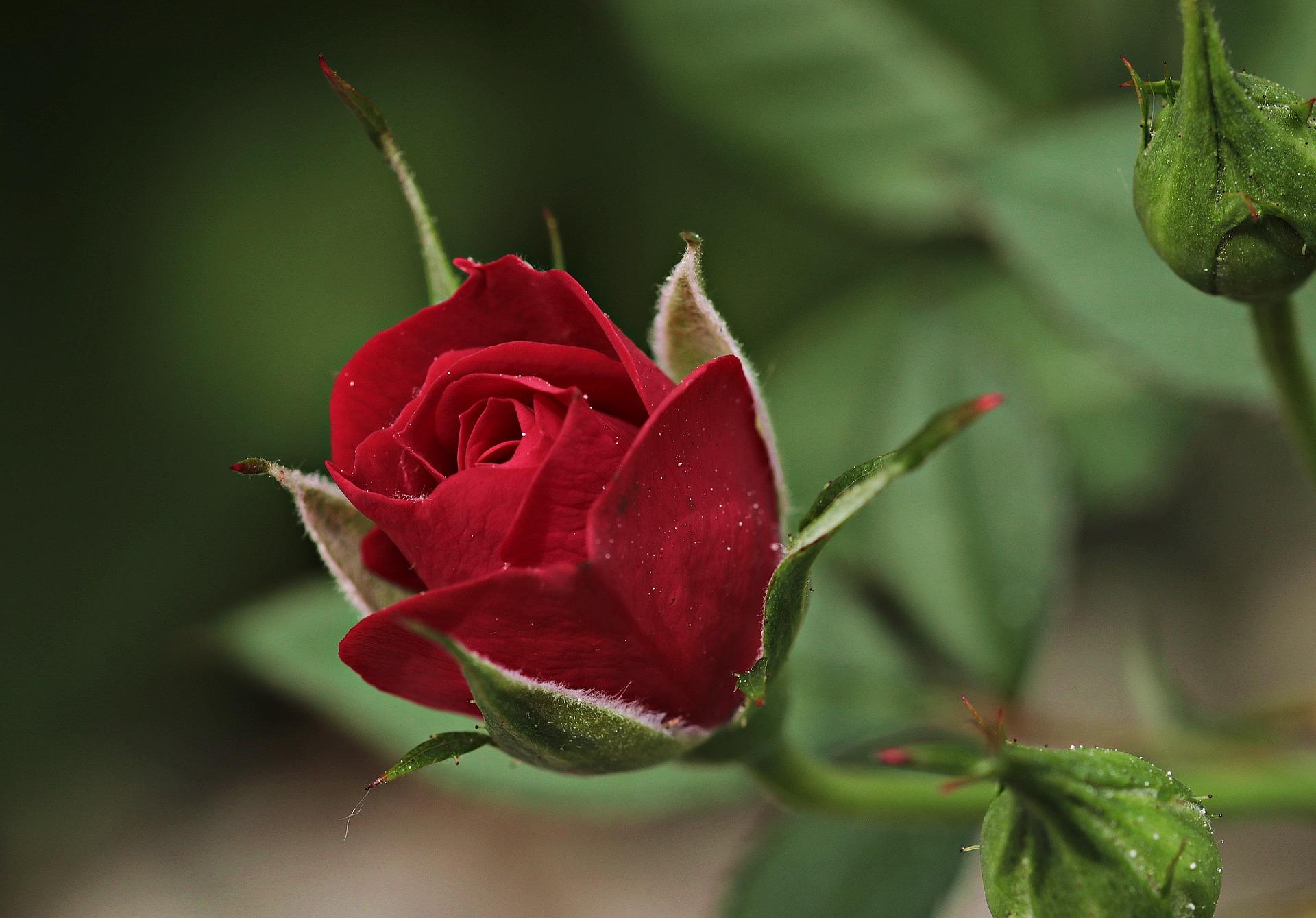 Der Tag der roten Rose