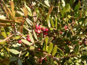 Blätter und die halbreifen Beeren des Mastix-Strauches. Auch die gerbstoffhaltigen Blättern wurden als Absud besonders bei Nesselauschlag, Wunden und übermässigen Fusschweiss eingesetzt.