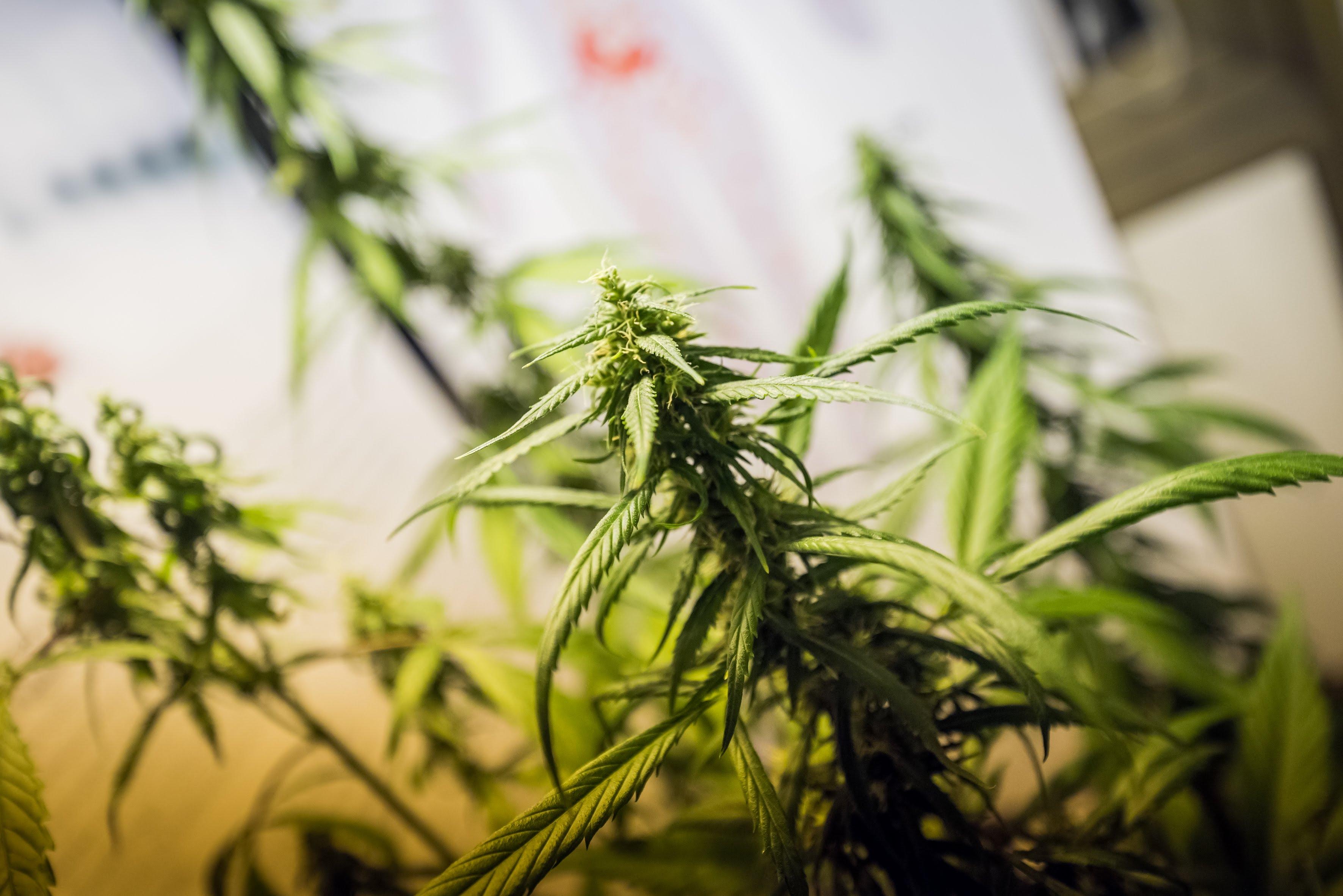 Cannabis – pianta dell'anno 2019