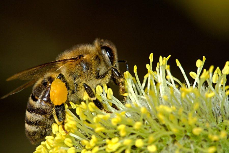 Propolis – ein erstaunliches Bienenprodukt
