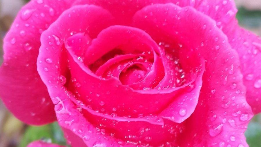 Distillare la rosa damascena
