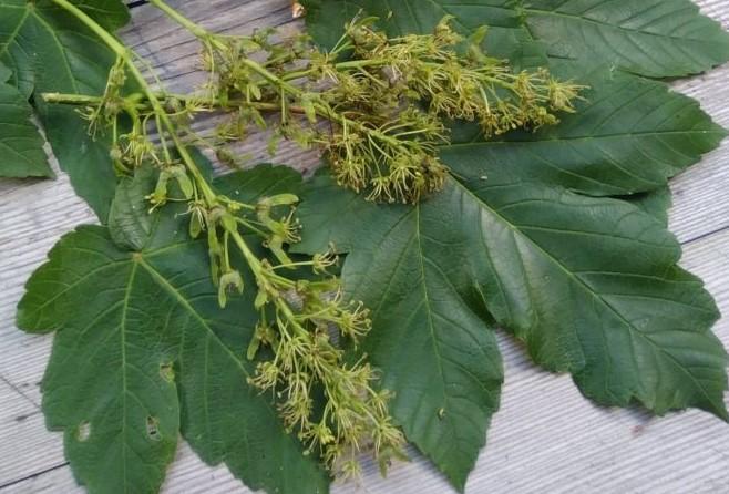 Ahornblüten-Sirup