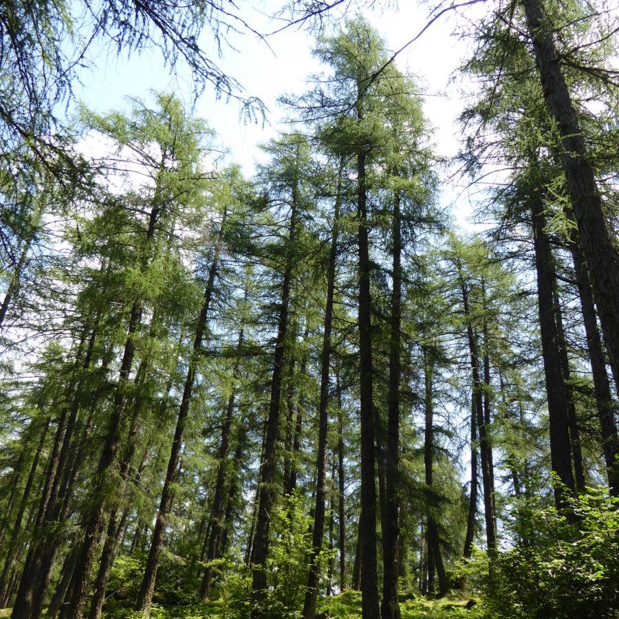 Alpen-Heilpflanze des Jahres 2020 – Die Lärche